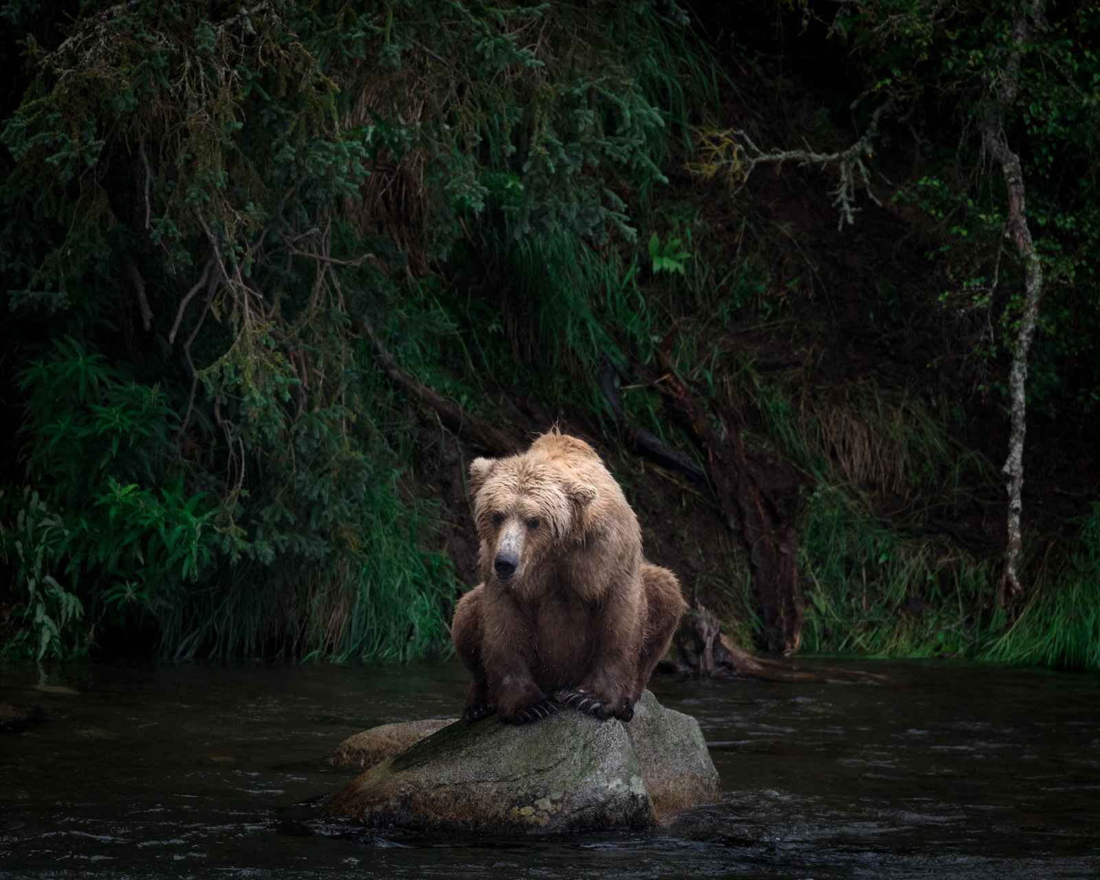 A grizzly bear waits for salmon at Brooks Falls, Alaska, during one of the densest salmon runs on record. Brooks Camp, in Alaska's Katmai National Park, is a wild bear sanctuary accessible to the public, making bear viewing possible in a safe and controlled way that respects and protects the animals (it's even wheelchair accessible). This grizzly bear population is imminently threatened by the proposed Pebble Mine project, which could destroy this remarkable salmon habitat and the bears that depend on it. At the time this photograph was taken, the wealth of salmon in the river had attracted a group of over 30 bears visible from a single spot. © Acacia Johnson