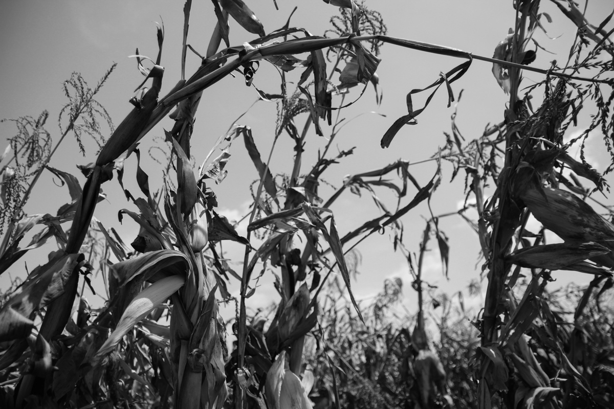 A failed maize field during the El-Nino induced drought that hit Ethiopia in 2015. The country is highly vulnerable to climate change and experiencing unpredictable rainfall and extreme weather. © Hilina Abebe