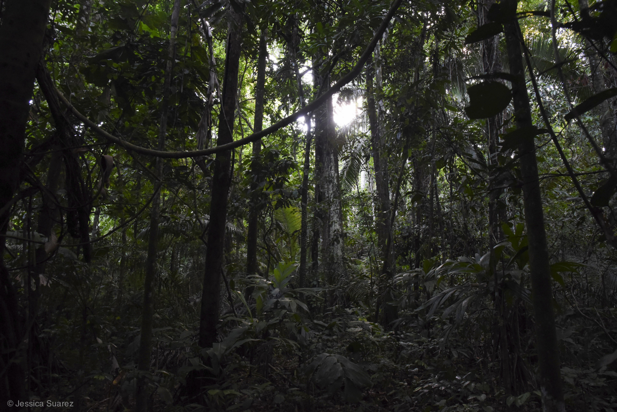 Privately hired forest rangers protect and monitor the near pristine rainforest found in Las Piedras Amazon Center, Peru. The terra firme forest is often under pressure from local illegal logging practices. © Jessica Suarez