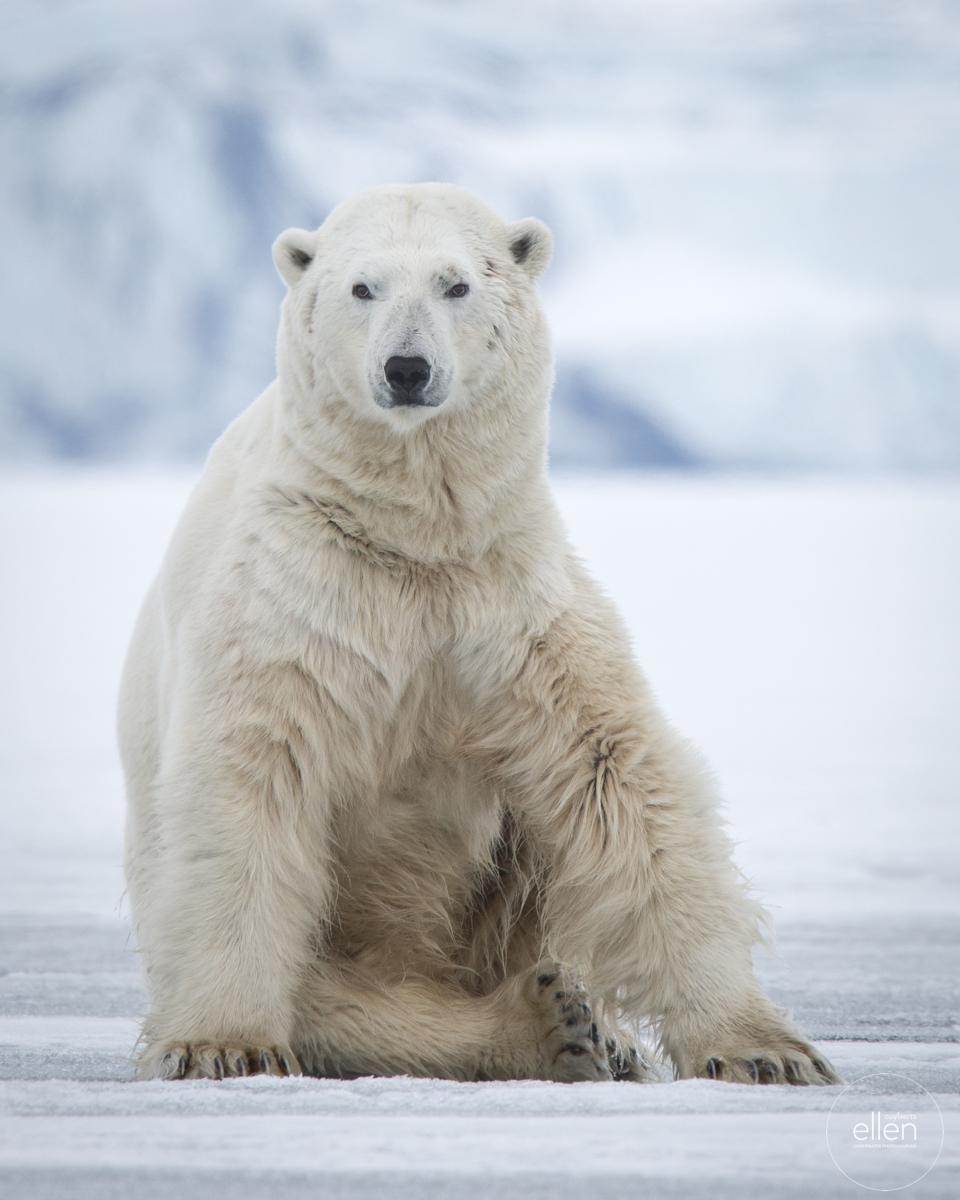 Polar Bear. © Ellen Cuylaerts