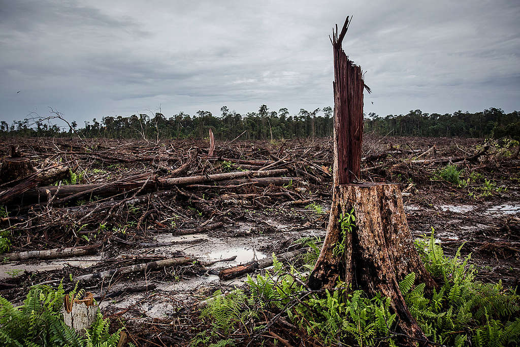Deforestation for palm oil Indonesia © Ulet Ifansasti / Greenpeace
