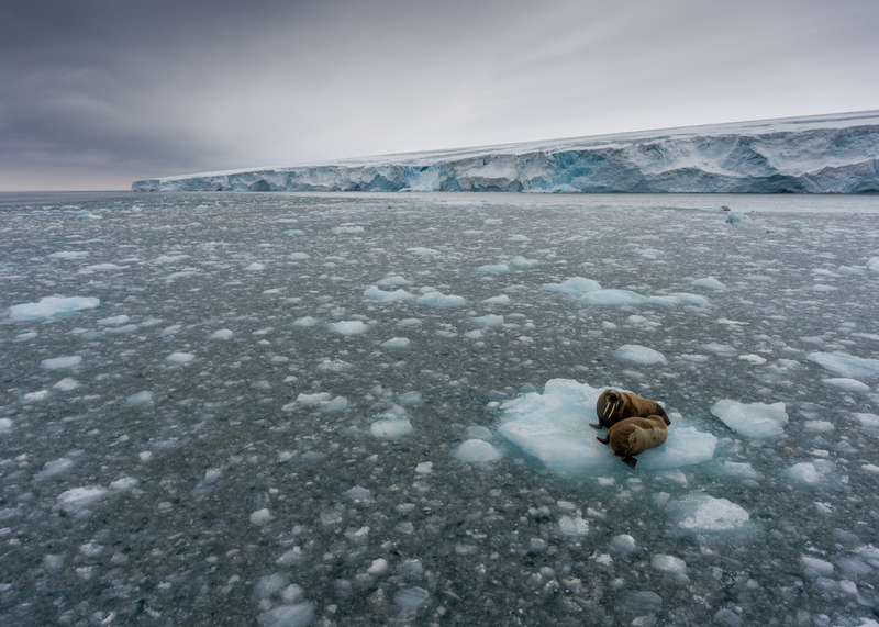 Walruses on ice floe at Kvitøya in Svalbard © Christian Åslund / Greenpeace
