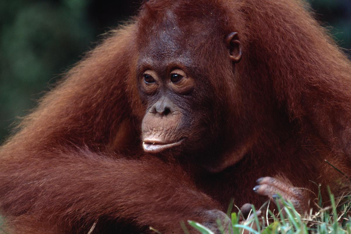 Orangutan, Borneo, Indonesia. © Greenpeace / Takeshi Mizukoshi