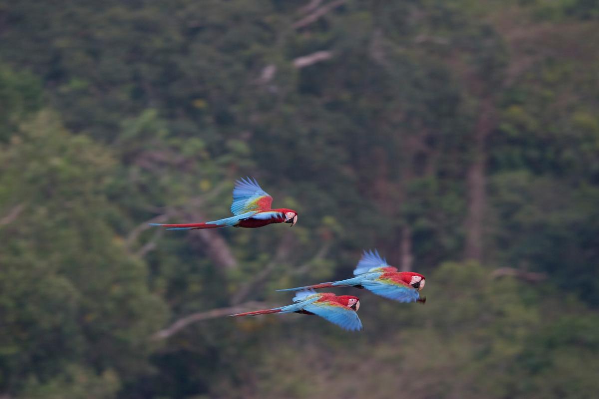 Scarlet Macaw in Cristalino State Park. © Greenpeace / Daniel Beltrá