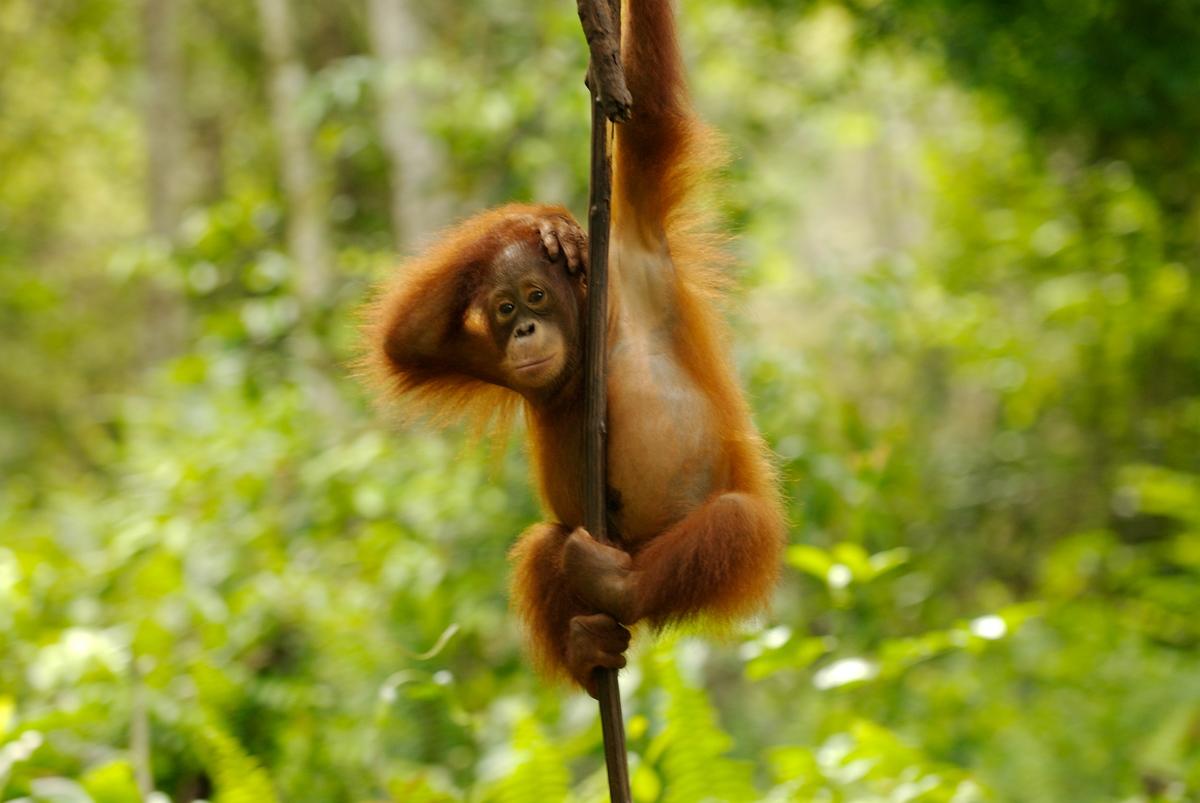 Nyaru Menteng Orang Utan Project in Kalimantan. © Markus Mauthe / Greenpeace