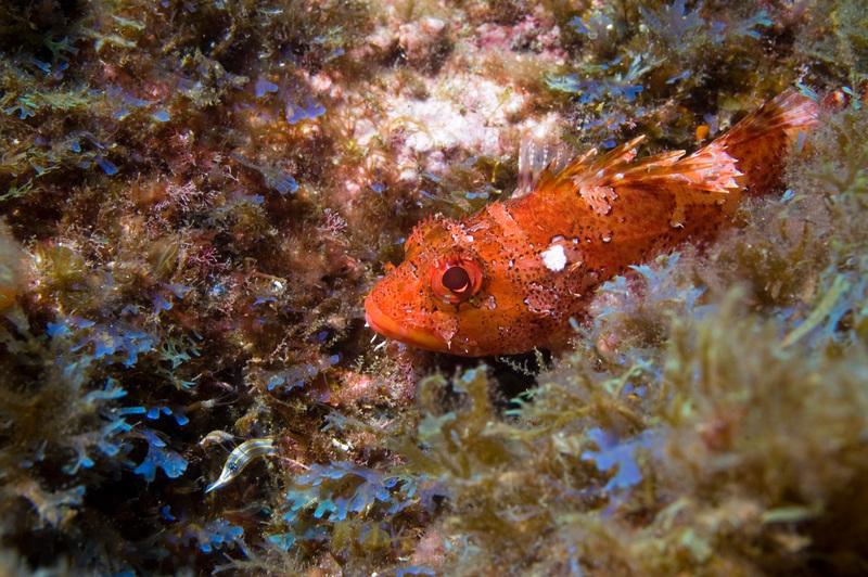 Madeira Rockfish - Deep Sea Life in the Azores. © Greenpeace / Gavin Newman