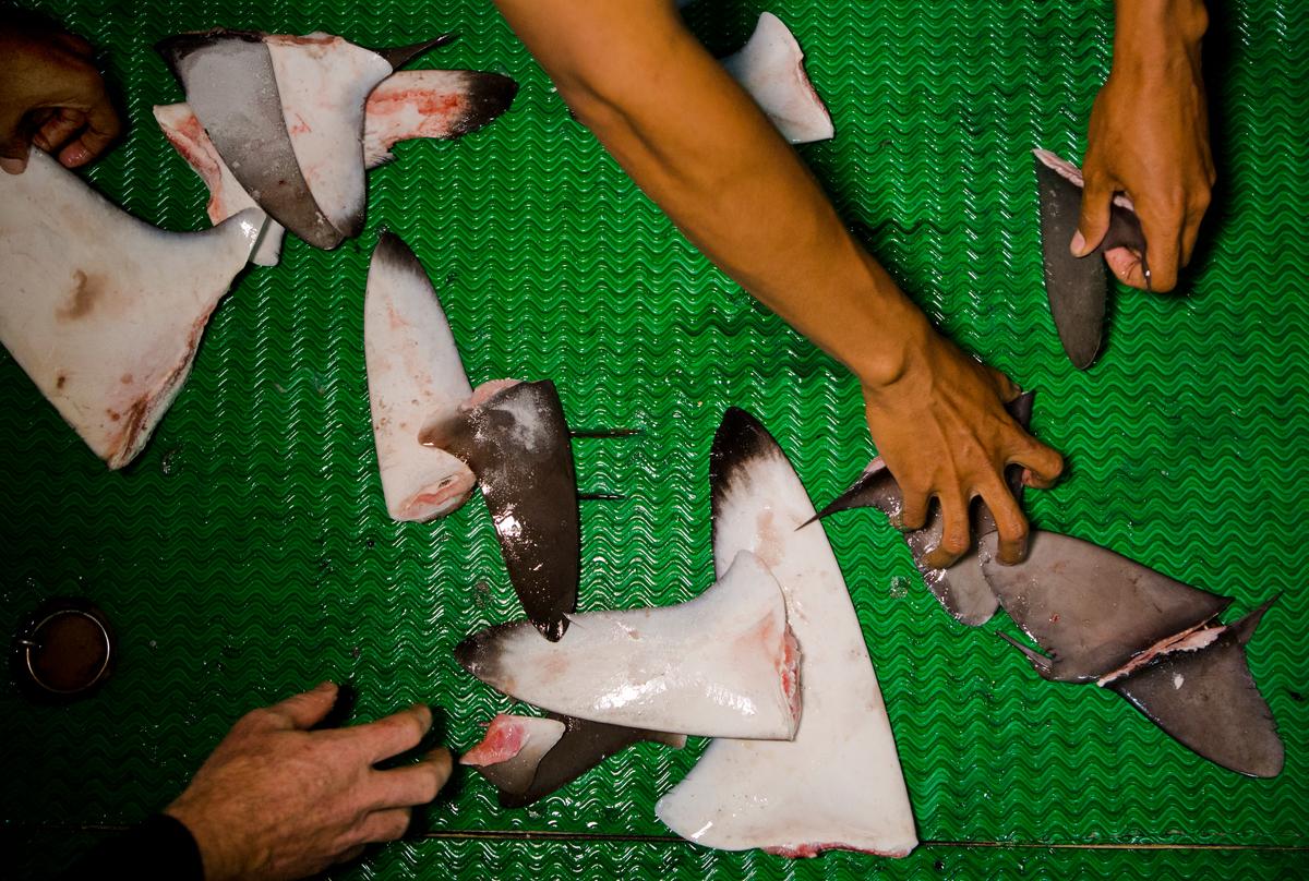 Shark Fins on Fishing Vessel in the Pacific Ocean. © Paul Hilton / Greenpeace