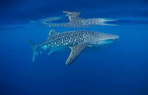 Whale Shark in Pacific Waters. © Paul Hilton / Greenpeace