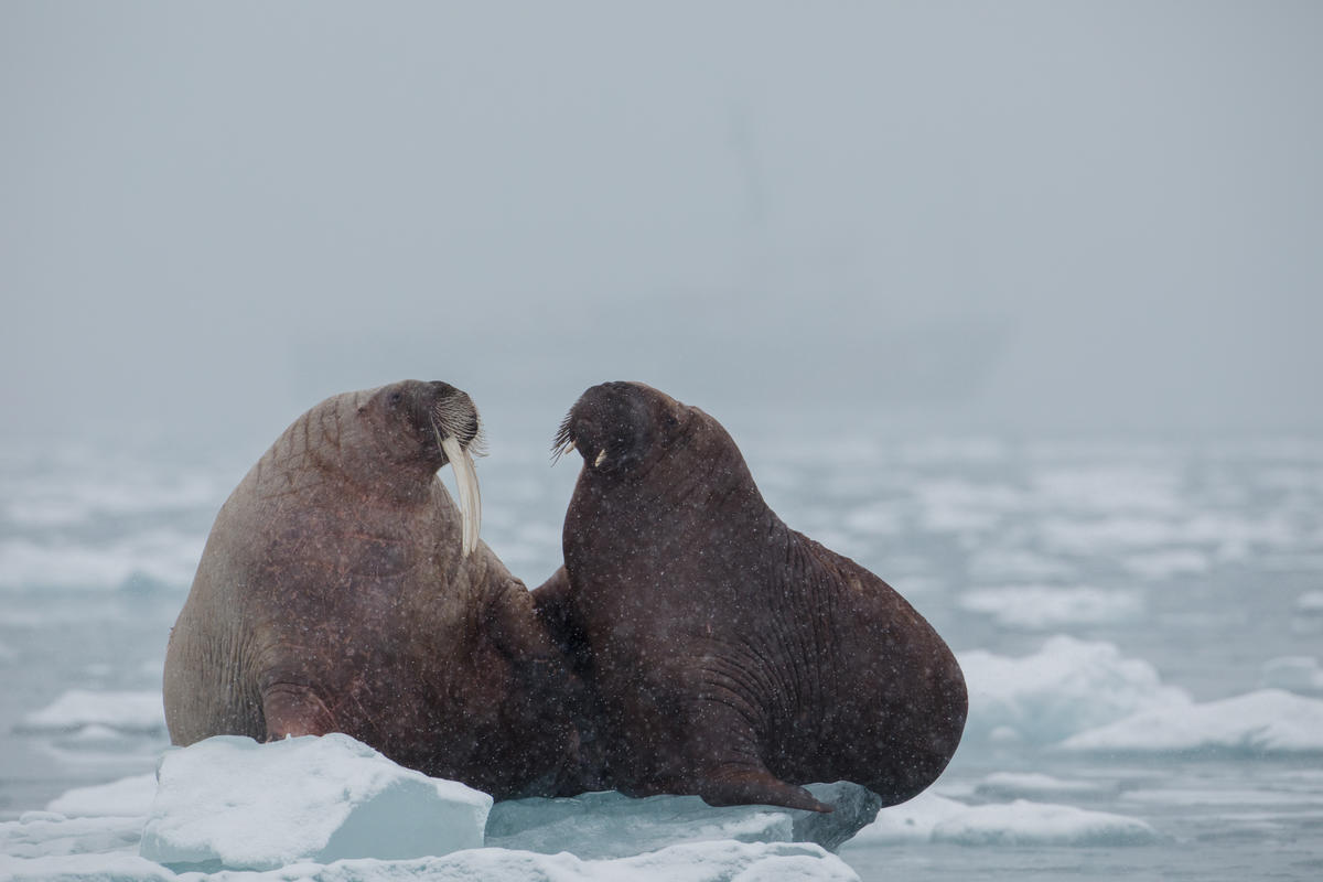 A family of walrus are seen resting atop an ice floe at Dahlbreen glacier in Svalbard. © Denis Sinyakov / Greenpeace