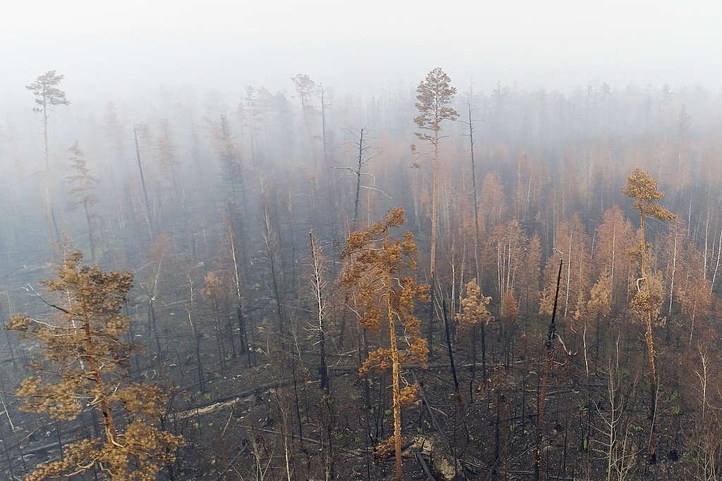 Siberian Forest Fires Aftermath in Russia © Anton Voronkov / Greenpeace