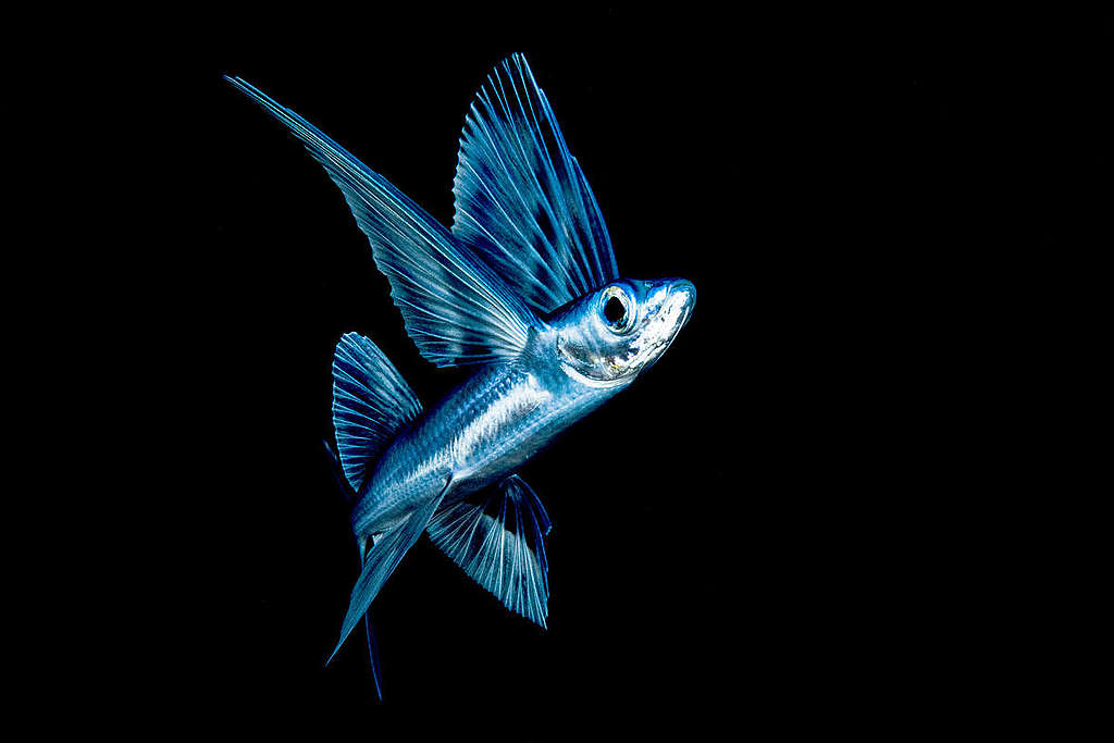 A flying fish at night near the surface in the Sargasso sea. © Shane Gross / Greenpeace