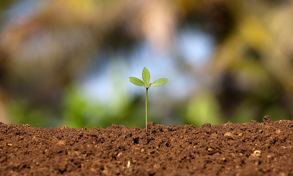 Seedling in an organic field © Greenpeace / Vivek M.