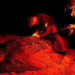 GPS Beacon Set on Leatherback Turtle in French Guiana © Jody Amiet / Greenpeace