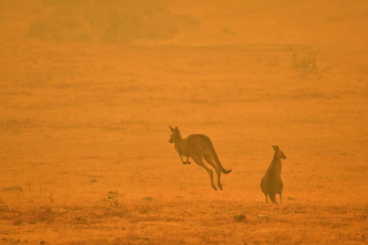 A kangaroo jumps in a field amidst smoke from a bushfire in Snowy Valley on the outskirts of Cooma on January 4, 2020. - Up to 3,000 military reservists were called up to tackle Australia's relentless bushfire crisis on January 4, as tens of thousands of residents fled their homes amid catastrophic conditions. SAEED KHAN / AFP / Getty Images