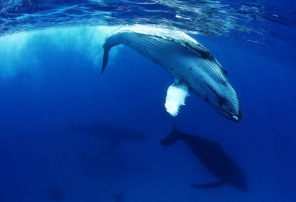 Humpback Whale in Tonga. © Paul Hilton / Greenpeace