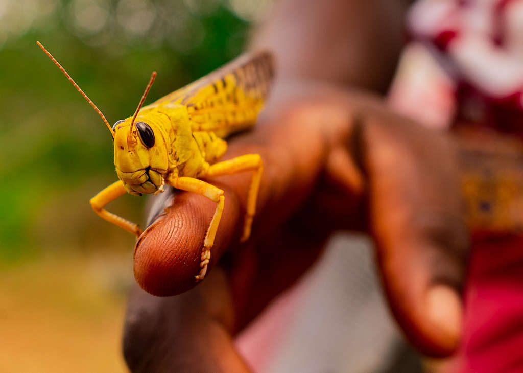Locusts Invasion in Mwingi, Kitui County in Kenya. © Greenpeace / Paul Basweti