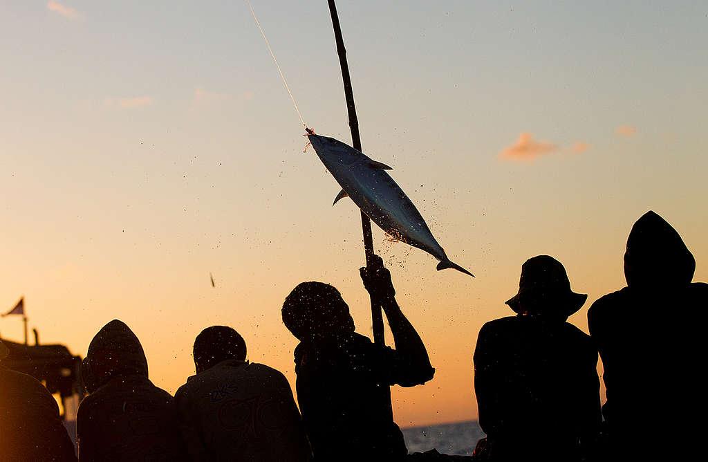 Pole and Line Fishing in Indonesia. © Paul Hilton / Greenpeace