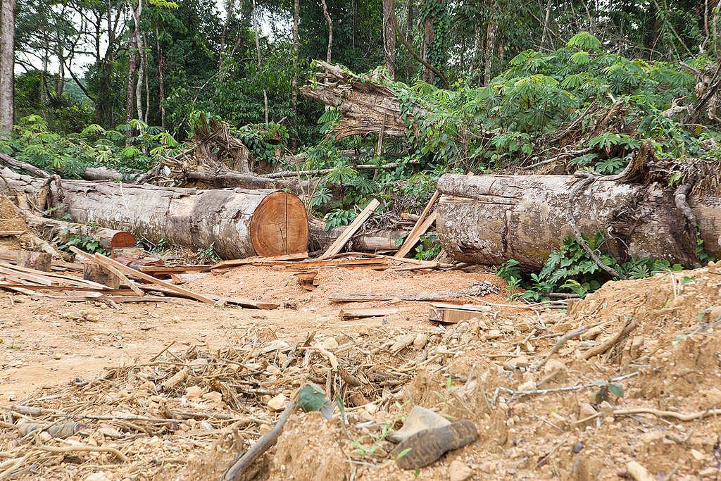 Oil Palm Nursery in Cameroon. © Jan-Joseph Stok / Greenpeace