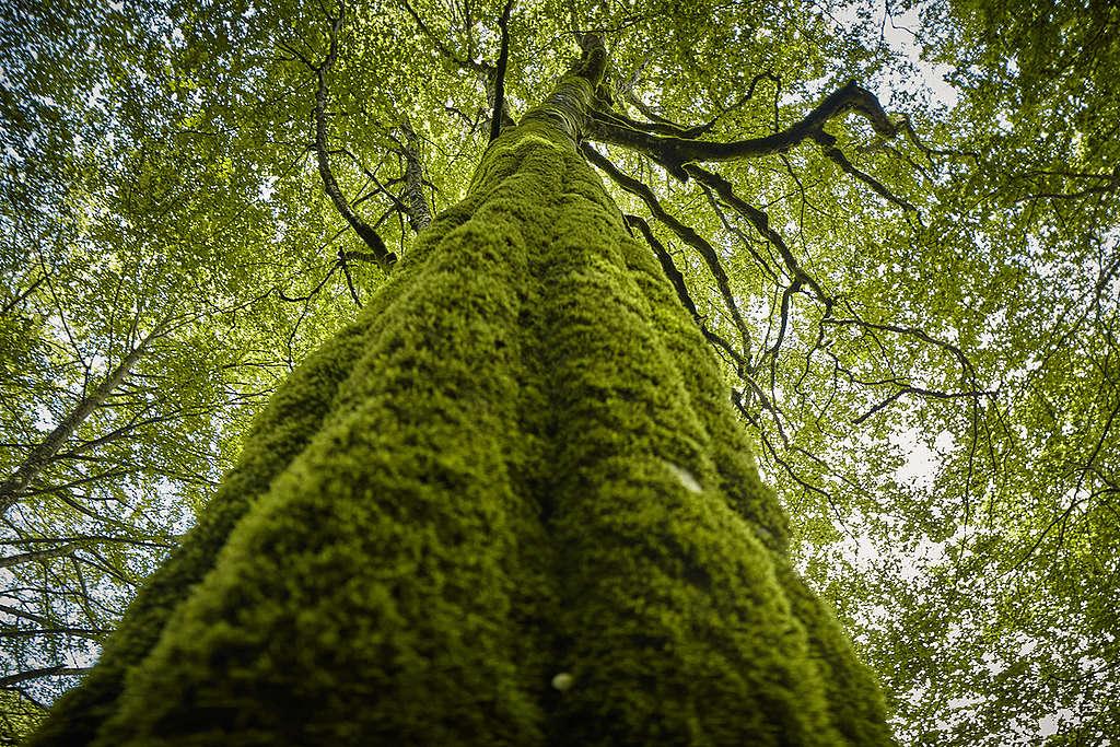 Beauty of the Carpathian Forest in Romania. © Mitja Kobal / Greenpeace