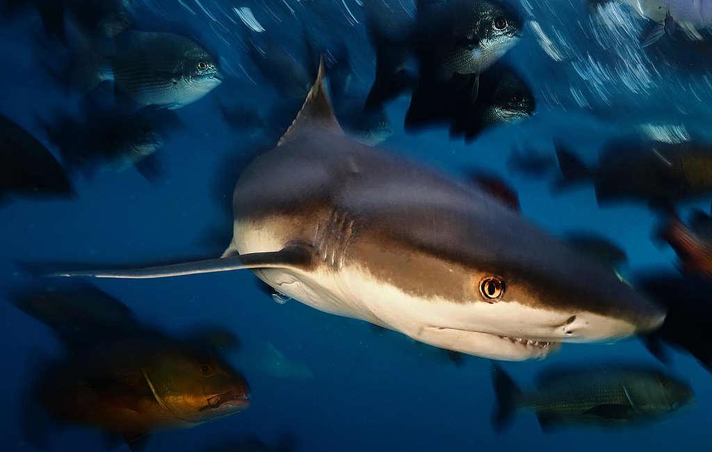 Black tip reef sharks swim amongst schools of fish in Raja Ampat, Papua,  © Paul Hilton / Greenpeace