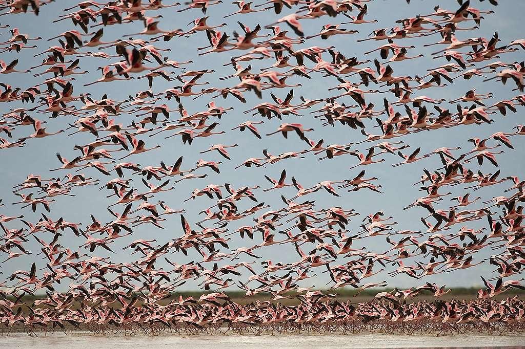Flamingos at Lake Natron, Rift Valley, Tanzania, Africa. © Markus Mauthe / Greenpeace