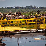 Global pulp and paper company linked to endangered Sumatran tiger's death