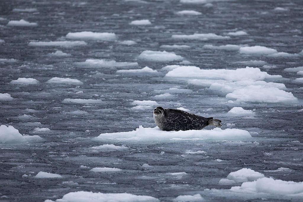 Ringed Seal In The Arctic. © Daniella Zalcman / Greenpeace