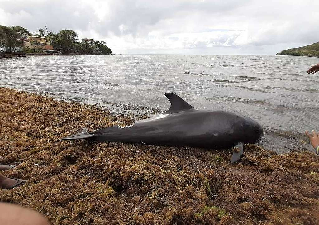 Porpoise Found near the Shore in Mauritius. © Shav