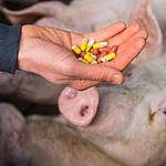 Nuovo rapporto: allevamenti sempre più intensivi foraggiati dai fondi PAC