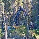 La foresta Dvinsky è in pericolo!