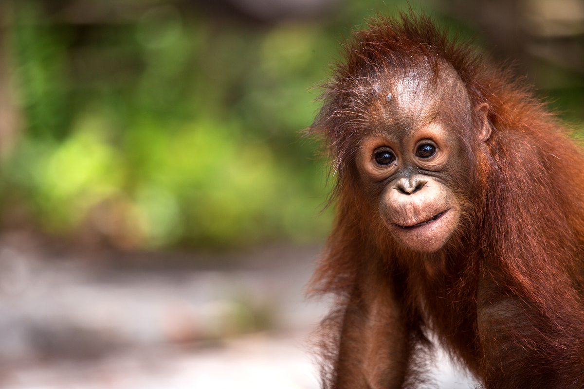 Orangutan at BOS Nyaru Menteng Orangutan Rescue Center in Indonesia. © Bjorn Vaugn