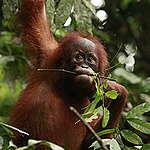 Sumatran Orangutan. © Will Rose