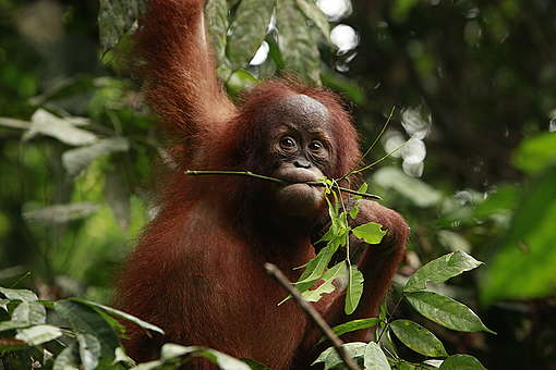 Sumatran Orangutan. © Will Rose