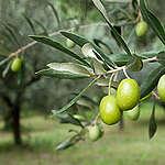 Sarà l'olio d'oliva Ia prossima vittima dei cambiamenti climatici?