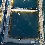 Orche e beluga prigionieri in Russia: presto saranno  liberati