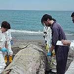 Quattro capodogli morti in Sicilia in meno di una settimana, Greenpeace: «Plastica in due degli animali spiaggiati. Il mare ci sta mandando un segnale di allarme»