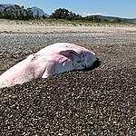 Capodoglio spiaggiato in Sicilia, Greenpeace: «Nel suo stomaco trovata molta plastica. Pronti a salpare per monitorare stato di salute dei nostri mari»
