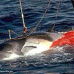 Giappone: riparte la caccia alle balene