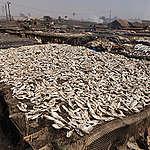 Greenpeace: la produzione di farine di pesce per gli allevamenti intensivi minaccia i mari e ruba cibo alle popolazioni africane