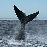 Southern Right Whale in the Argentine Sea. © Martin Katz / Greenpeace