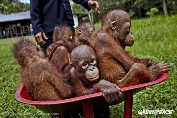 森林破壊により住みかを奪われ、保護施設で育てられているオランウータンの赤ちゃん、中央カリマンタンにて