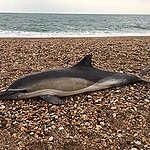 英国調査、海洋哺乳類50頭すべてにマイクロプラスチック見つかる