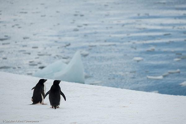 이상기후로 숫자가 급격히 감소한 남극의 아델리 펭귄