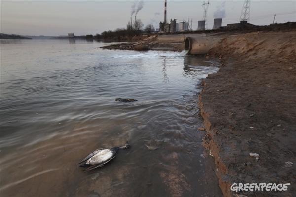 공업단지 폐수 출구 근처에서 폐사한 오리들