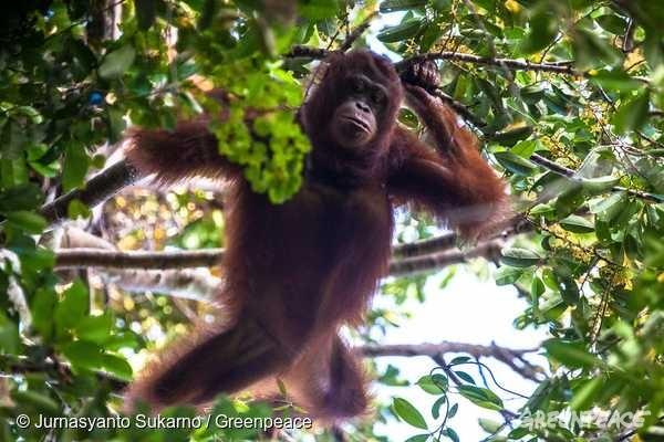 야생 암컷 오랑우탄 로사가 칼리만탄의 보호 지역인 구눙팔룽(Gunung Palung) 국립공원 한 나무 위에서 과일을 찾고 있다