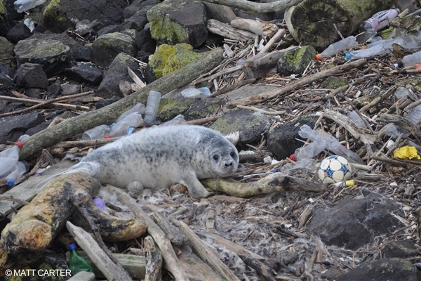 플라스틱쓰레기로 뒤덮인 해변에서 카메라를 보고있는 물개 © MATT CARTER