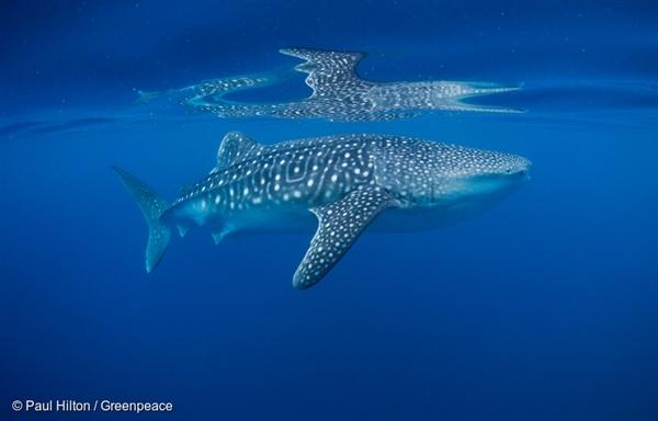 따뜻한 필리핀 바다에서 헤엄치는 고래 상어