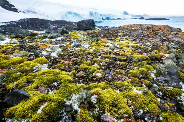 남극 디스커버리 만에서 자라난 이끼