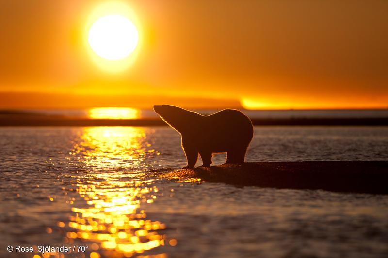 알레스카 북극곰