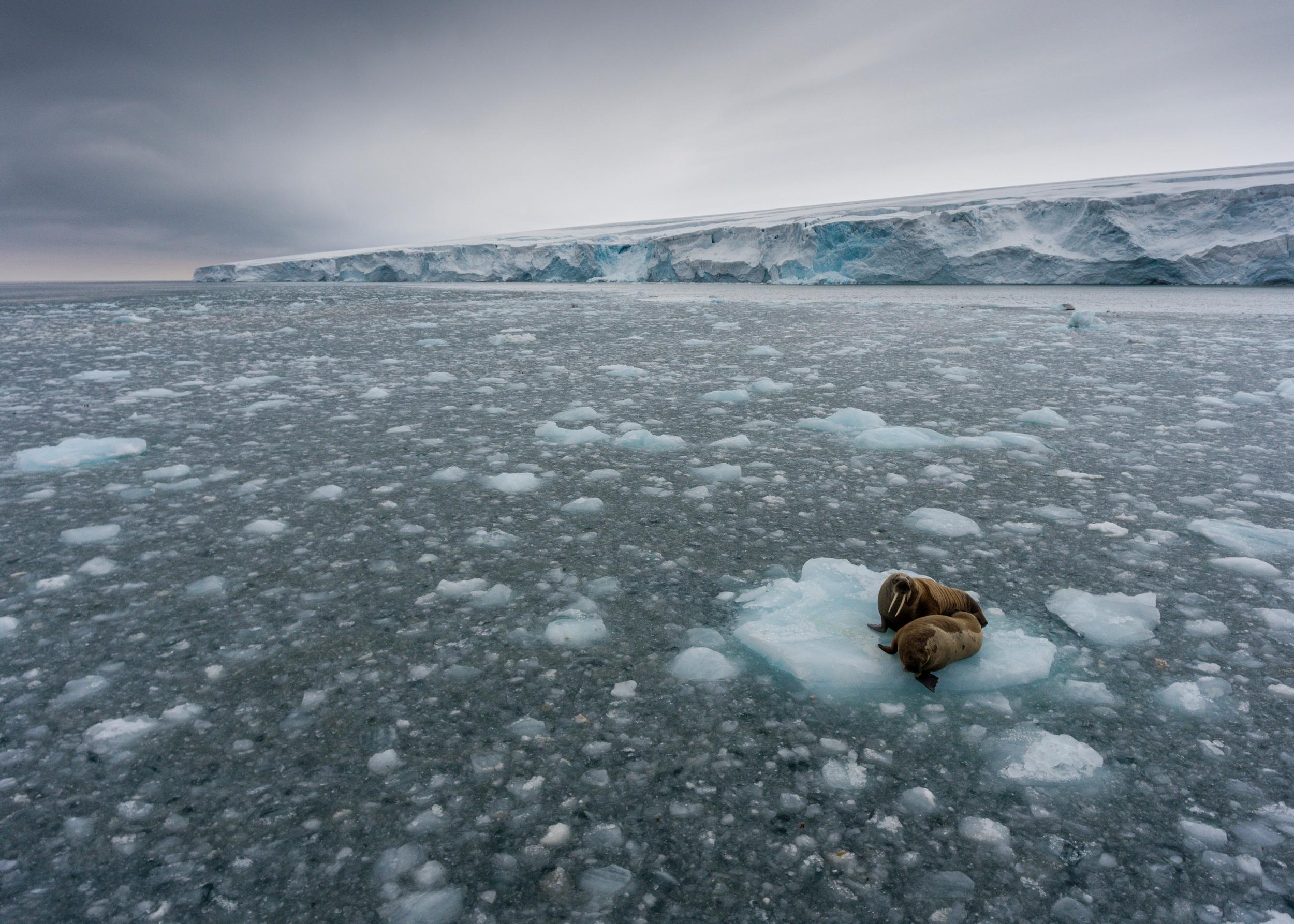 Des morses sur la banquise à Kvitøya à Svalbard © Christian Åslund / Greenpeace